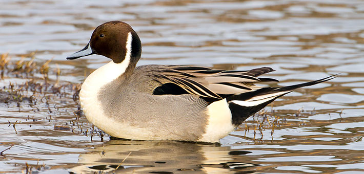 NorthernPintail.jpg