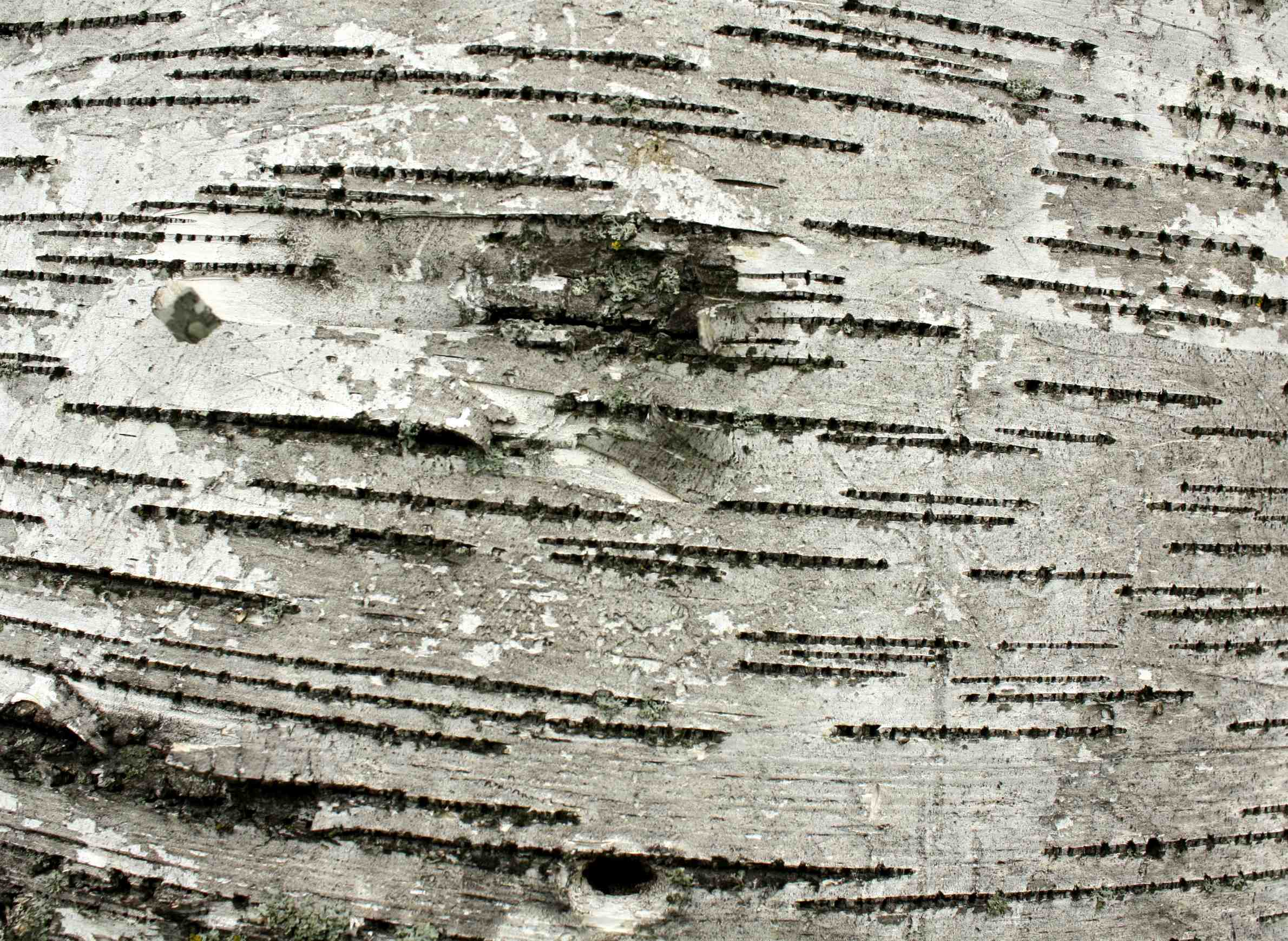 forests-paperbirch-poaching-management-industry.jpg