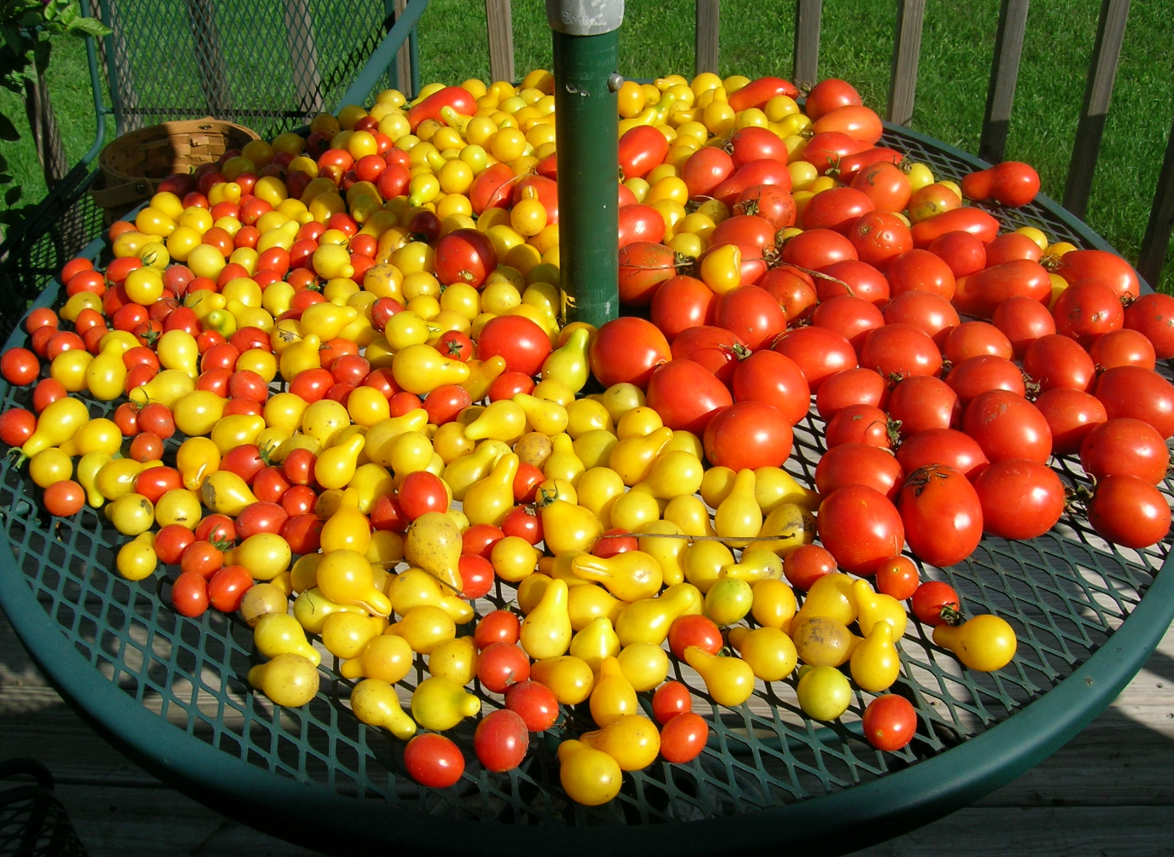 gardening-autumn-harvest-produce-tomatoes.jpg