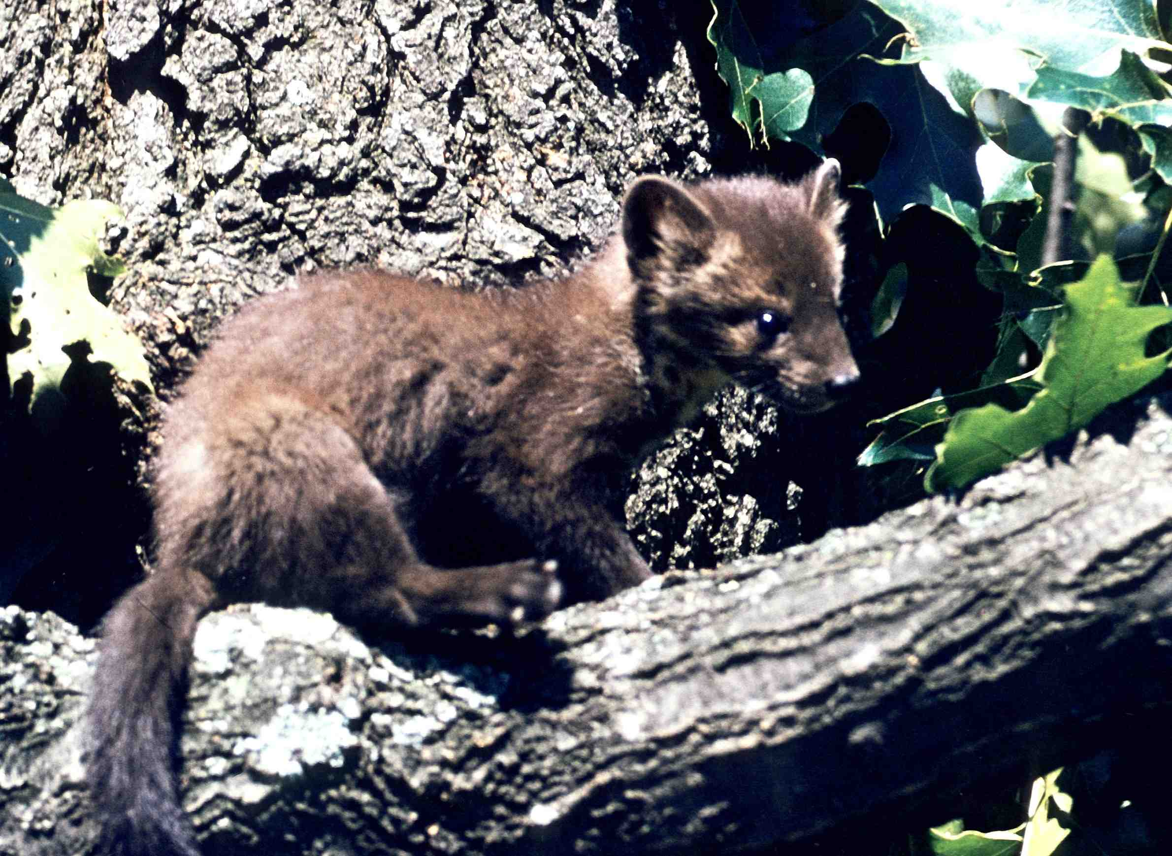 greatlakesecho-animals-endangered-augmentation-americanmarten.jpg