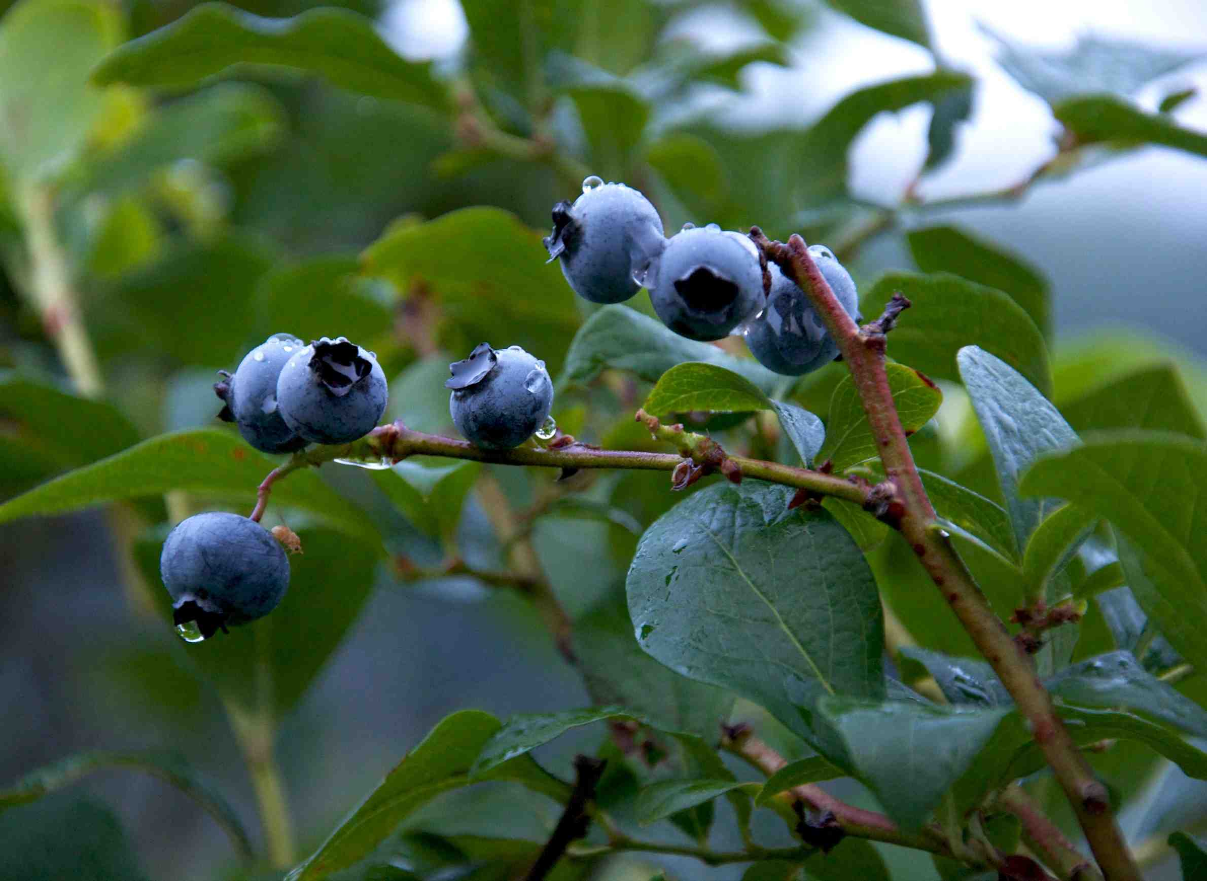 wpr-ideas-gardening-blueberries-tips.jpeg